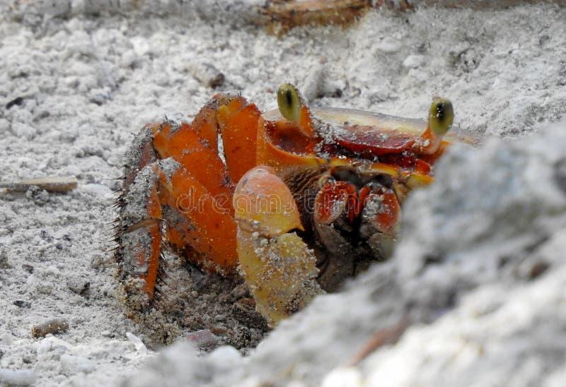 Gruntowy krab był łapiący w połowie z jego dziury zdjęcie royalty free