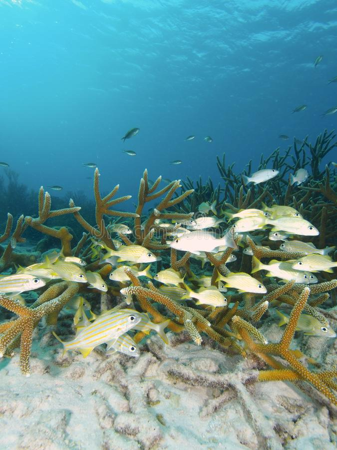 Download Grunts In Staghorn Coral Thicket Stock Image - Image of acropora, coral: 88369153