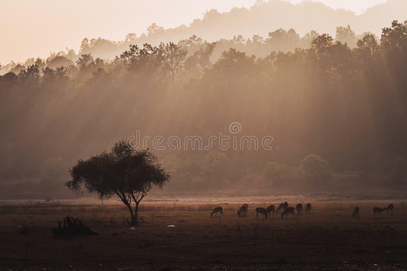 Grupa łaciasta jelenia osi oś w naturalnym siedlisku zdjęcia stock