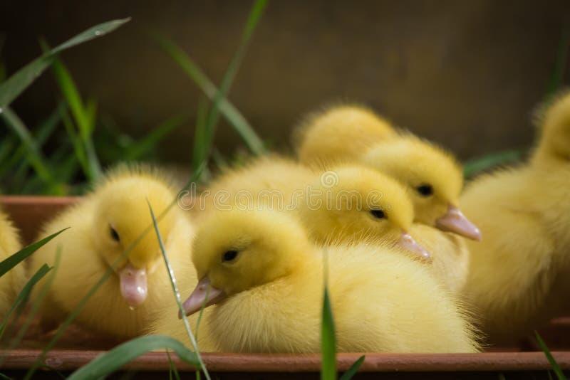 Grupa śliczni żółci puszyści kaczątka w wiosny zielonej trawie, zwierzęcy rodzinny pojęcie obrazy royalty free
