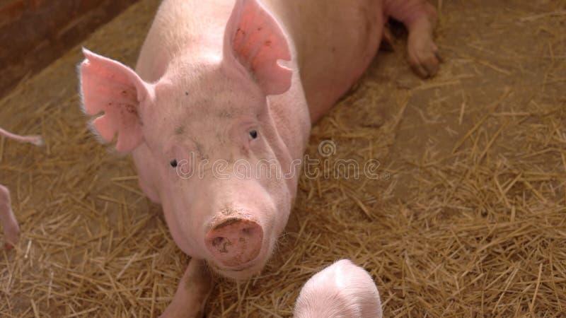 Grupa świnie zdjęcia stock