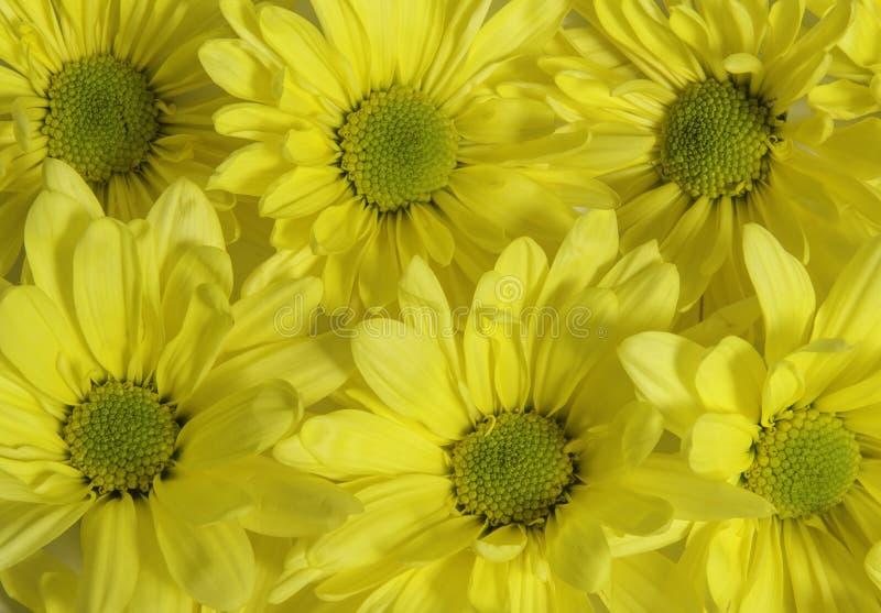 Grupa żółci kwiaty zdjęcie royalty free