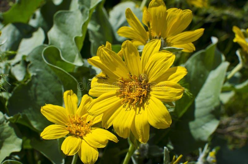 Grupa żółci wildflowers w polu zdjęcie royalty free