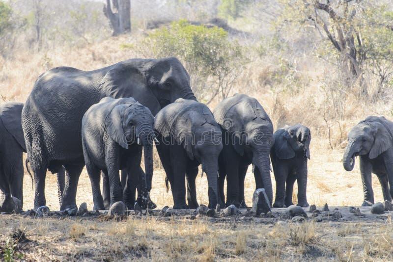 Grupa Afrykańscy słonie zdjęcie stock