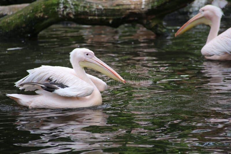 Grupa Amerykańscy Biali pelikany Preening przy wodą obrazy stock