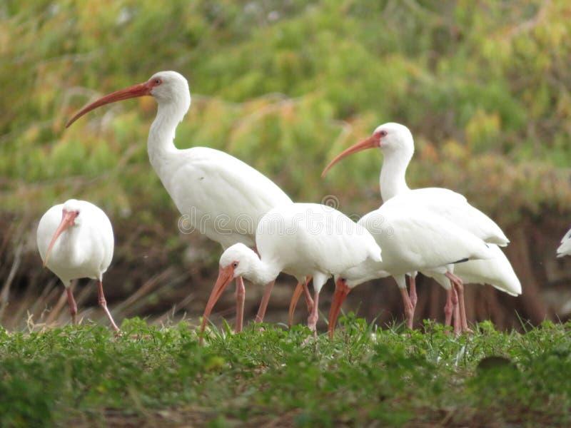 Grupa Amerykańscy Biali ibisy na gazonie fotografia royalty free