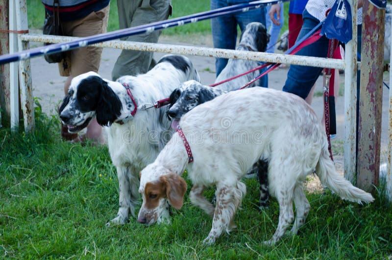 Grupa Angielscy legart zostaje na zielonej trawie tła być prześladowanym łowieckiego labradora biel kolor żółty zdjęcie stock