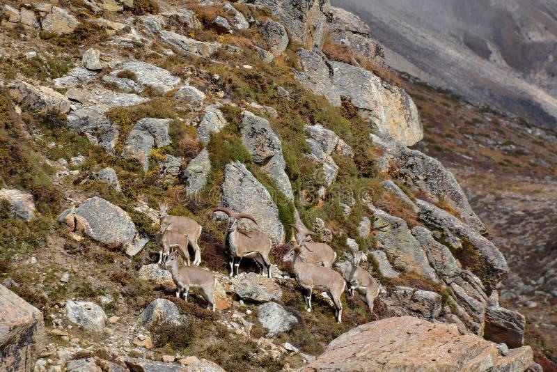 Grupa błękitni sheeps blisko Lhonak, Nepal Wędrówka Kangchenjunga, Nepal fotografia royalty free