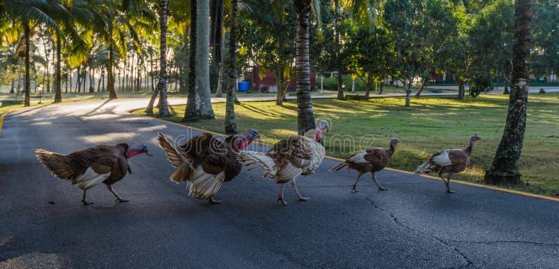 Grupa bezpłatni chodzący indyczy ptaki i skrzyżowanie droga zdjęcia stock