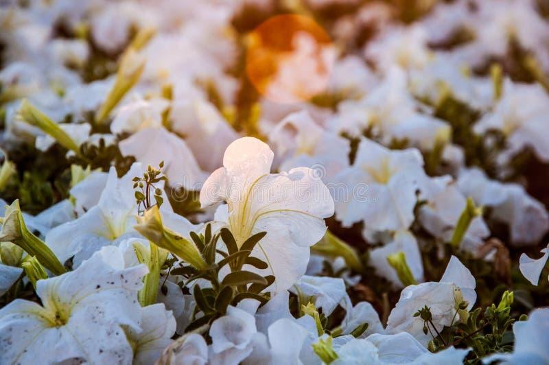 Grupa białe petunie zdjęcie royalty free