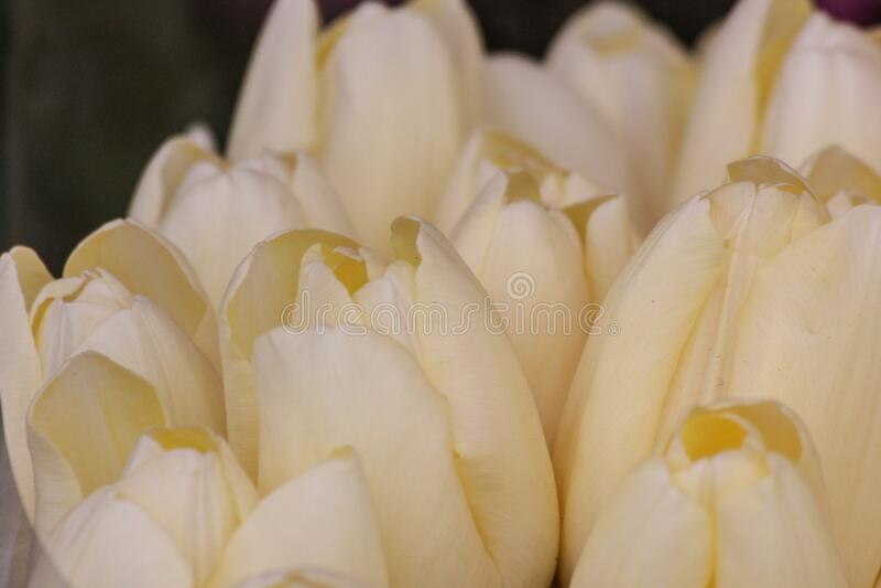 Grupa białych tulipanów w parku obrazy royalty free
