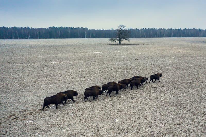 Grupa bizonów w naturze dzikiej fotografia stock