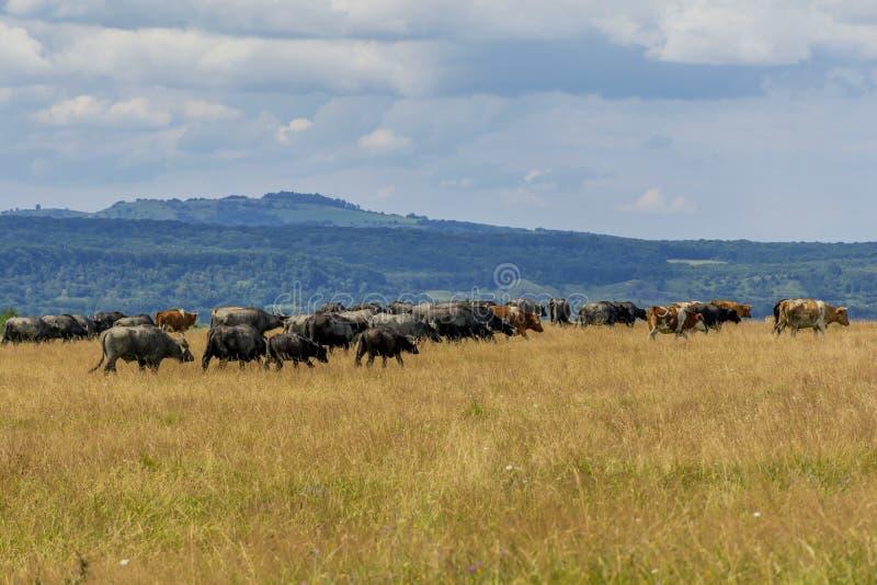 Grupa bizony i krowy na zieleniejemy pole obraz stock
