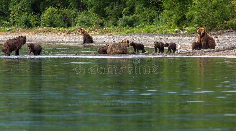 Grupa brown niedźwiedzie z potomstwami na brzeg Kurile jezioro zdjęcie stock