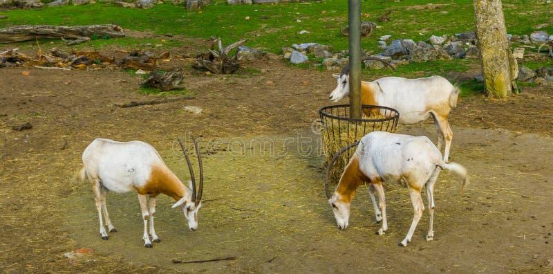 Grupa bułatów oryxes stoi przy siano koszem, zwierzęcy specie który jest wymarły w dzikim fotografia stock