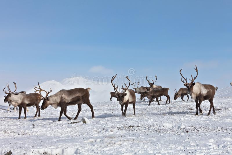 Grupa caribou zdjęcia royalty free