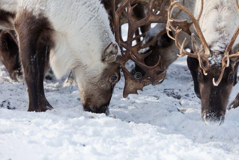 Grupa caribou obraz royalty free