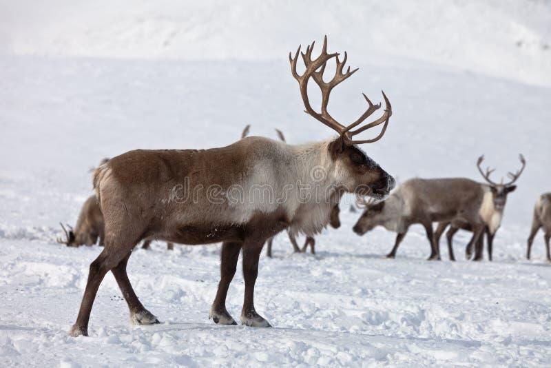 Grupa caribou obrazy stock