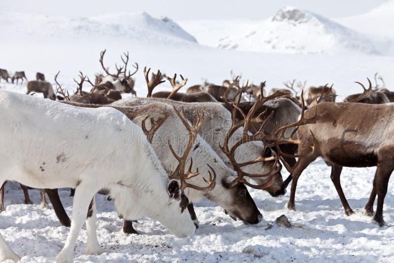 Grupa caribou obraz stock