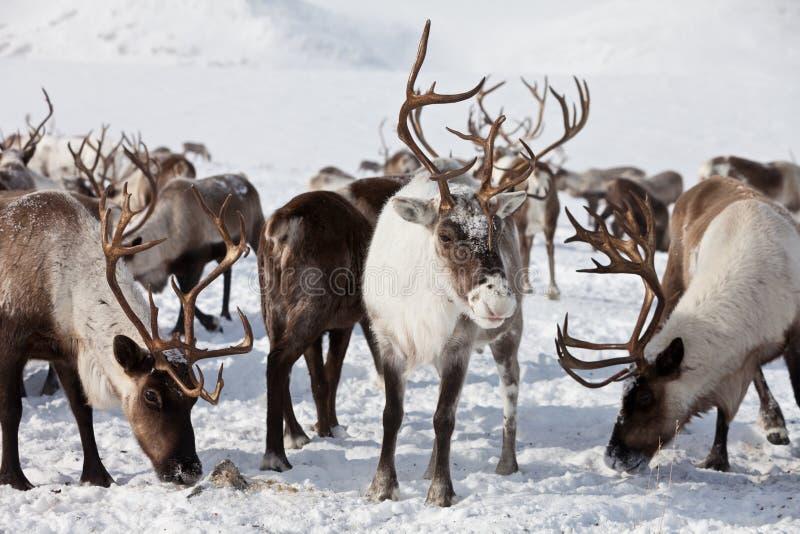 Grupa caribou zdjęcia stock