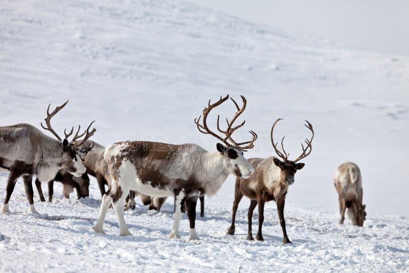 Grupa caribou zdjęcie royalty free
