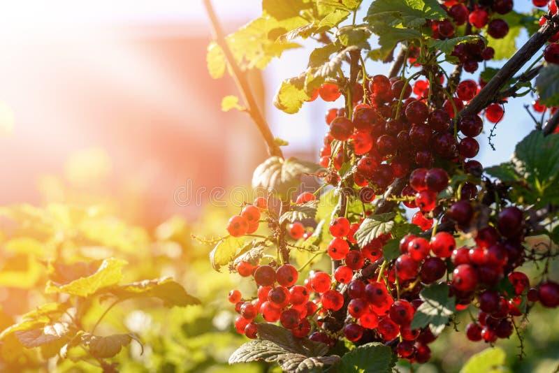 Grupa czerwonego rodzynku jagody na Bush gałąź w jaskrawym świetle słonecznym zdjęcia royalty free