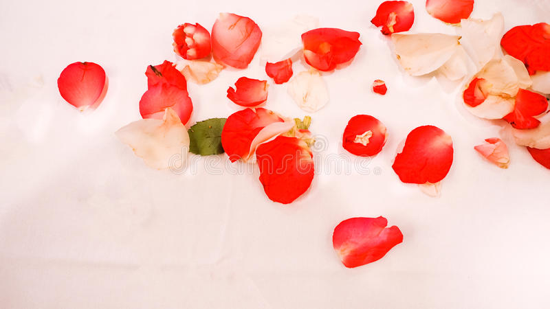 Grupa czerwoni i biali róża płatki spadać z białym tłem zdjęcia stock