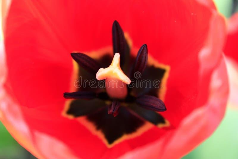 Grupa czerwoni tulipany w parku Ranek w rosie, wiosna krajobraz w g?r?, plama obraz stock