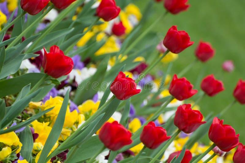 Grupa czerwonych tulipanów w parku fotografia stock