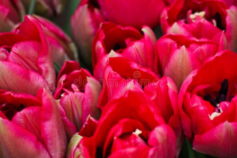 Grupa czerwonych tulipanów w parku obrazy stock