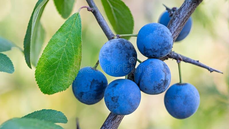 Grupa dojrzali błękitni sloes na gałąź z zielonymi liśćmi Prunus spinosa fotografia royalty free