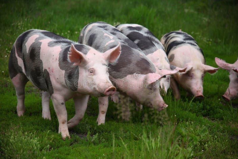 Grupa domowy młody świni lata paśnik fotografia royalty free
