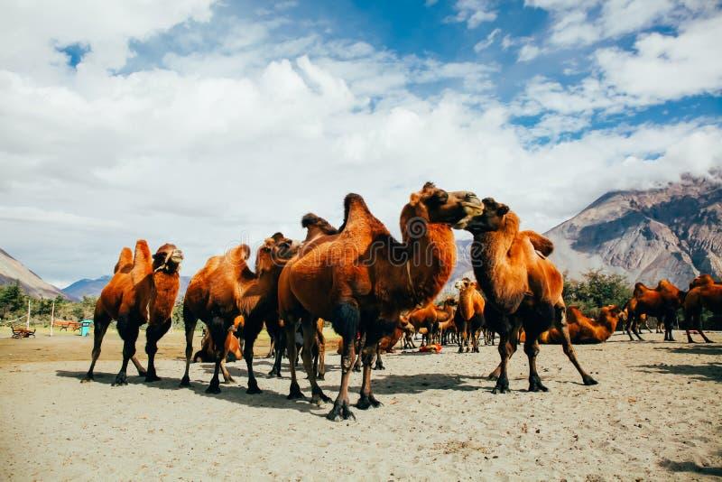 Grupa dwoiści garbów wielbłądy w pustyni w Nubra dolinie, Ladakh, India zdjęcia royalty free