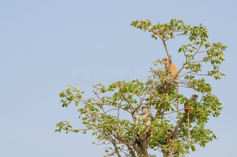 Grupa dziki Campbell ` s Mona małpuje obsiadanie w drzewny odgórny odosobnionym przeciw niebieskiemu niebu, Senegal, Afryka zdjęcie stock