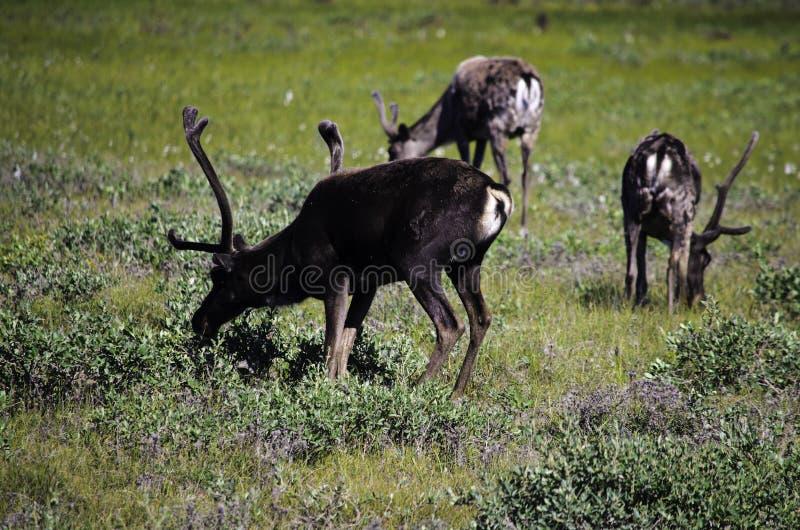Grupa dziki Caribou zdjęcia royalty free