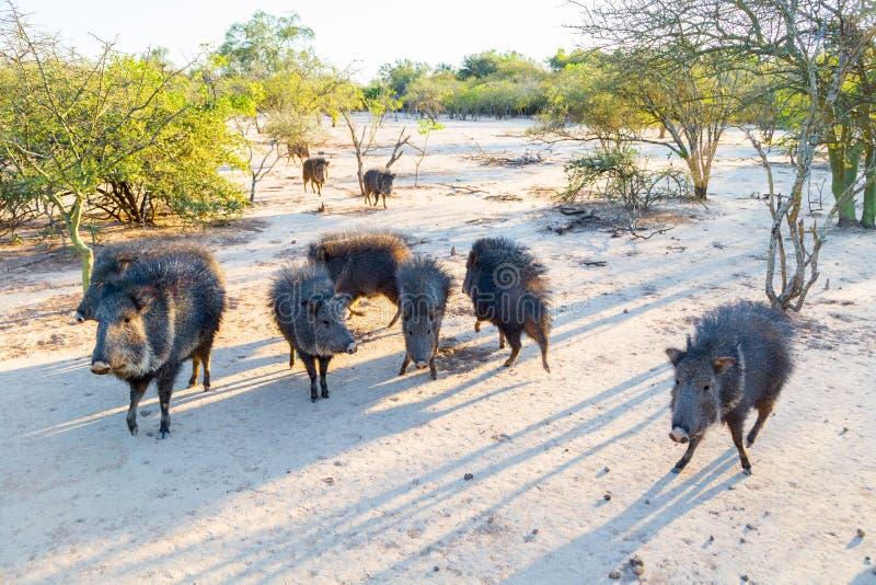 Grupa dziki Chacoan peccary, Paraguay Chaco, Gran Chaco, Paraguay, ameryka łacińska, Ameryka Południowa obrazy stock