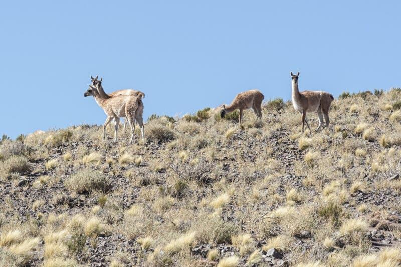 Grupa dziki vicunas antenat lama i alpaga w wysokim altiplano Chile obraz royalty free