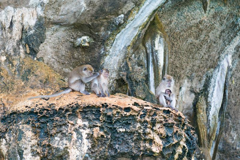 Grupa dzikie małpy siedzi na skale fotografia royalty free