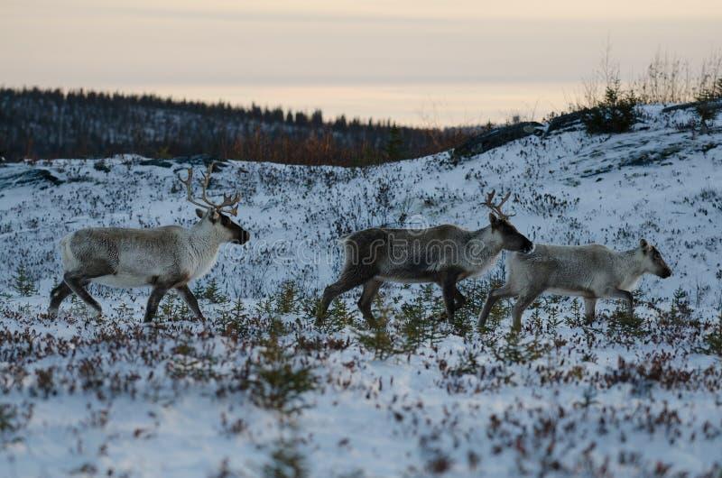 Grupa emigracyjny lasu caribou zdjęcia royalty free