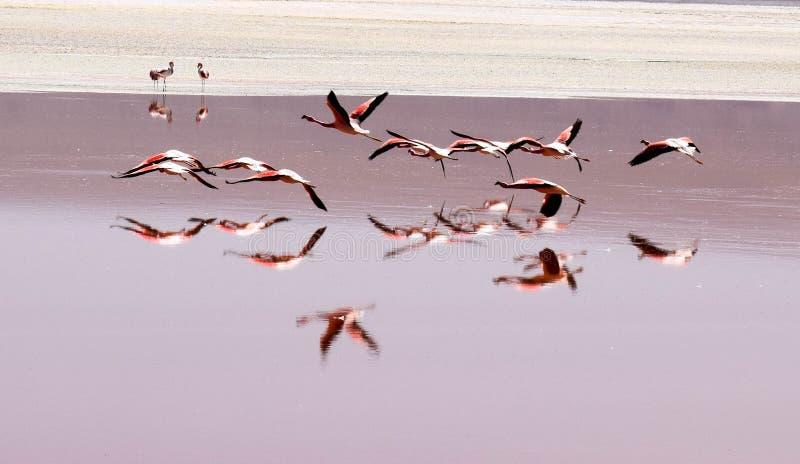 Grupa flamingów latać zdjęcie royalty free