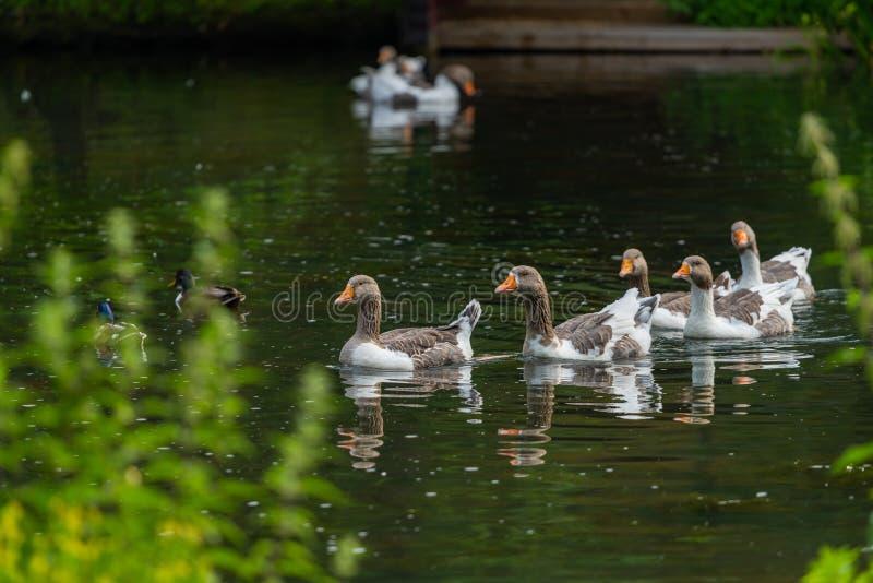 Grupa Gęgawe gąski pływa szczęśliwie w stawie zdjęcia royalty free