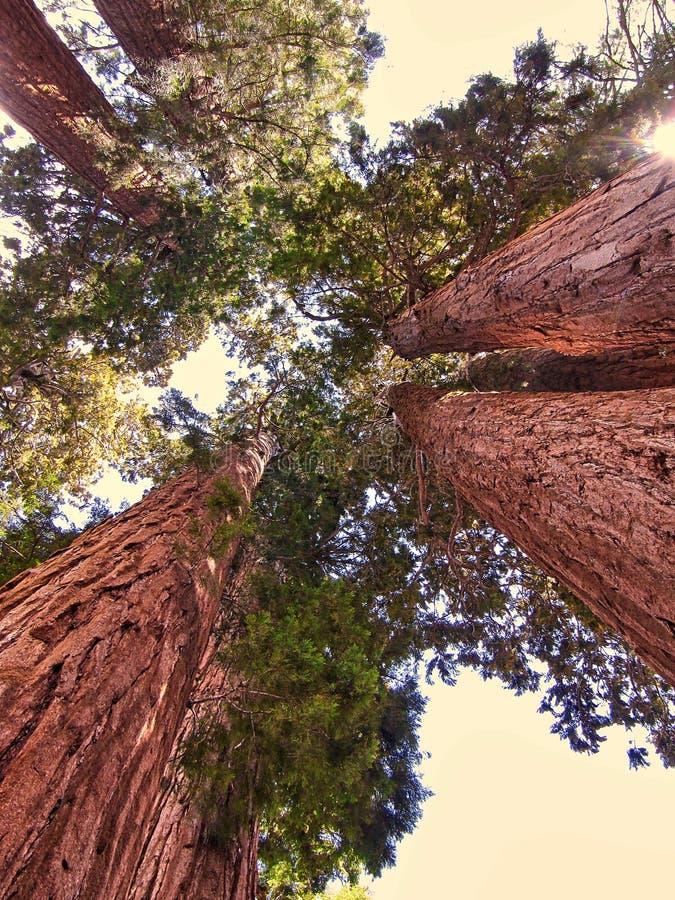 Grupa gigantycznej sekwoi drzewa w sekwoja parku narodowym - Kalifornia zdjęcia royalty free