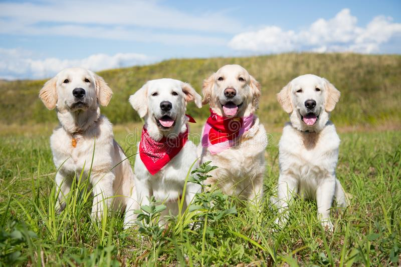 Grupa golden retriever jest prześladowanym pozować w polu w słonecznym dniu zdjęcie stock