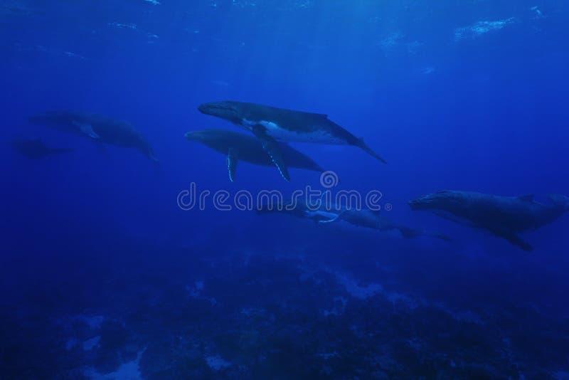 Grupa humpback wielorybów podwodny Pacyficzny ocean zdjęcia stock
