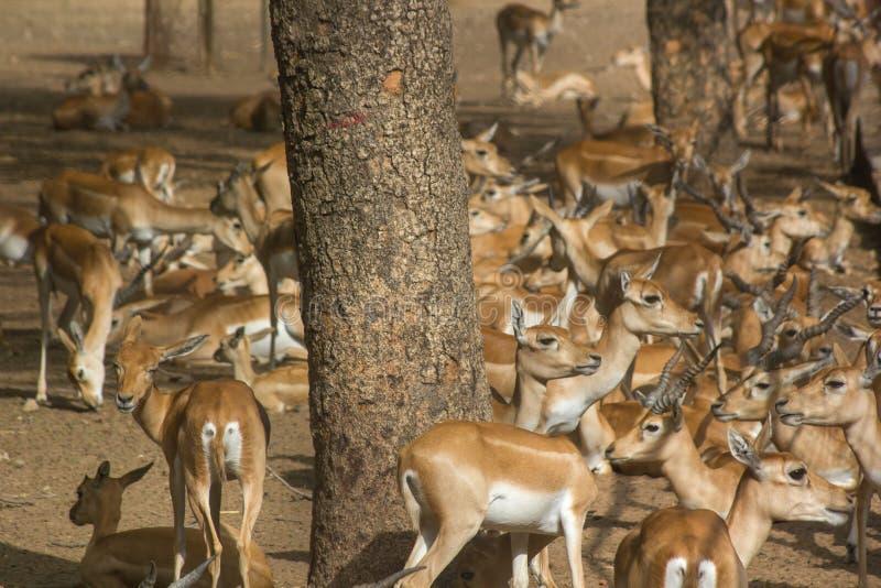 Grupa impalas obrazy stock