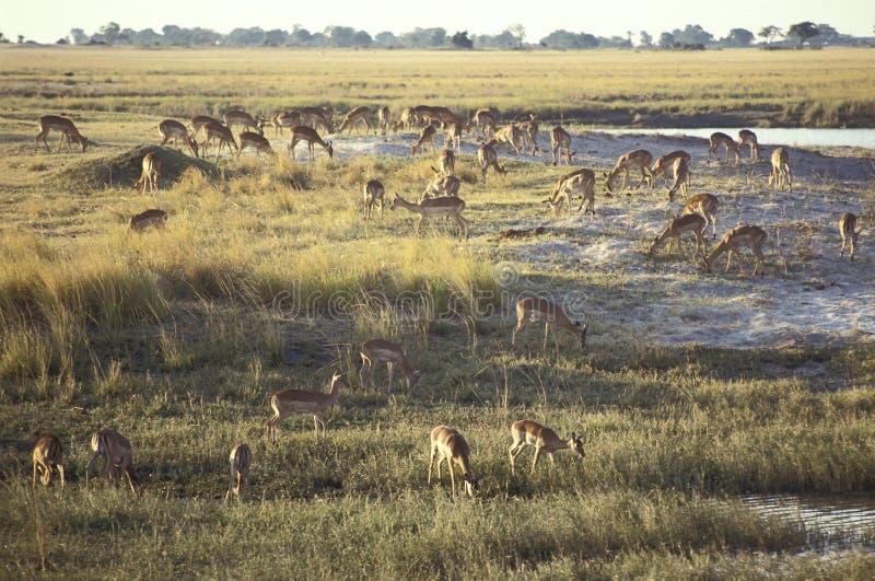 Grupa Impalas, Moremi gry rezerwa, Okavango delta, Botswa obraz royalty free