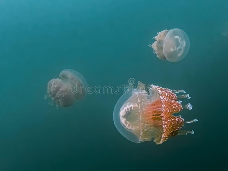 Grupa jellyfish w błękitnym turkusowym podwodnym wizerunku obrazy royalty free