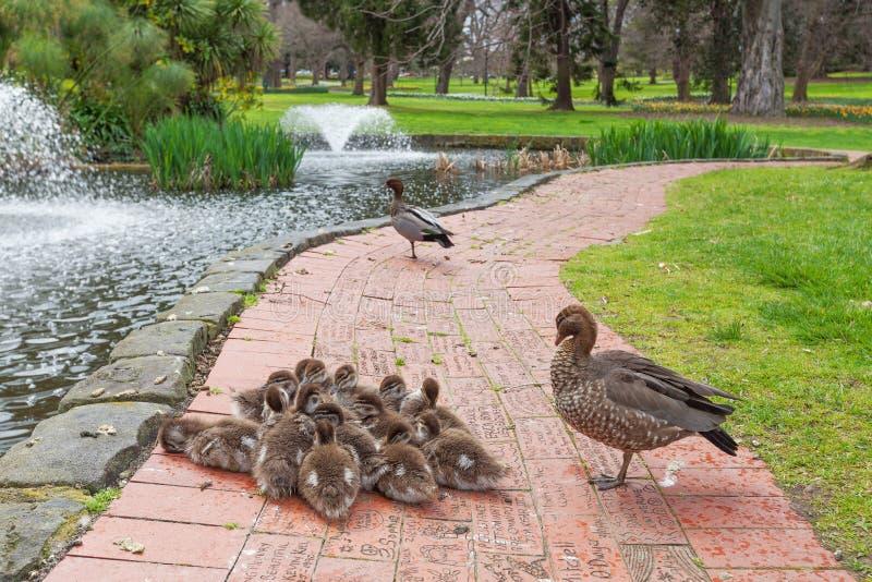 Grupa kaczątka z rodzicami zdjęcie stock