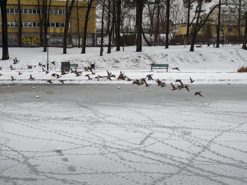 Grupa kaczek latających nad śnieżnym jeziorem mrożonym zdjęcie stock