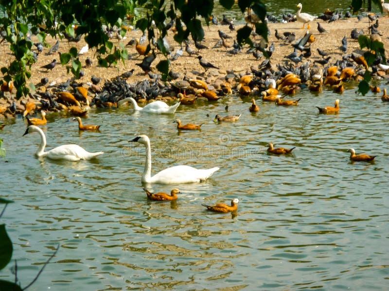 Grupa kaczka i łabędź, ptak na stawie obok lasowego tła zdjęcie royalty free